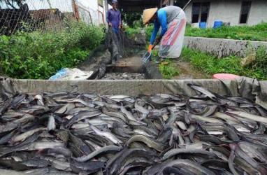 Berita Terupdate Terkait Pakan Ikan Bisnis Com