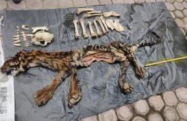 Tim Gabungan Tangkap Penjual Kulit dan Tulang Harimau