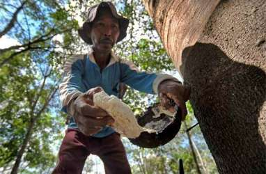 Produksi Getah Karet di Sumut akan Turun 10 Persen di Musim Gugur Daun, Harga pun Tedongkrak