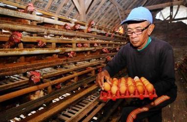 Tekan Biaya Produksi, Peternak Kaji Afkir Dini Ayam Petelur