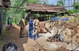 Kecamatan Ponjong Positif Antraks, Kasus Sapi Mati Mendadak Meluas di Gunungkidul