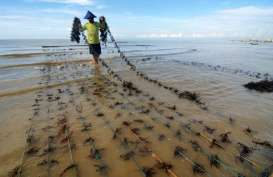 KKP Anggarkan Rp4 Miliar untuk Bibit Kultur Jaringan Rumput Laut