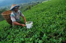 Peningkatan Produksi Teh Terkendala Lahan yang Terus Berkurang