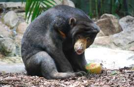 BKSDA Sumbar Selamatkan Beruang Madu yang Terjerat Perangkap