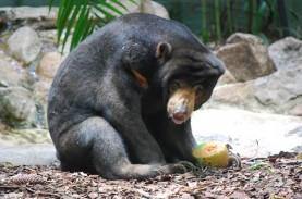 BKSDA Sumbar Selamatkan Beruang Madu yang Terjerat…