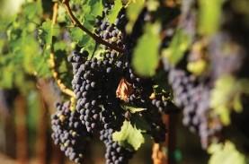 Kementan Kembangkan 55 Varietas Anggur