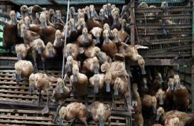 Pengentasan Kemiskinan : Musi Banyuasin Sebar 2.400 Itik untuk Kelompok Budidaya