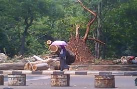 Pohon Setinggi Empat Meter di Menteng Tumbang