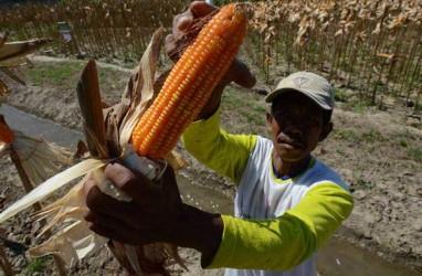 Program Tanaman Sela Kakao Bantu Pendapatan Petani Kolaka Utara