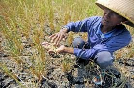 Anomali Cuaca Menyebabkan 50 Ha Padi Muda di Bantul…