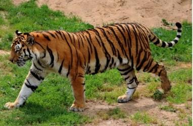 Perangkap Bakal Ditutup Terpal Saat BKSDA Sumsel Mengevakuasi Harimau