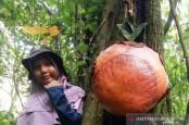 Langka! Bunga Bangkai Menempel di Akar Pohon Medang