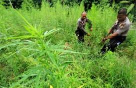 Alasan Rencana Legalisasi Ganja di Aceh