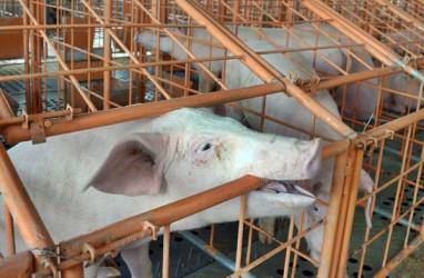 Kematian 808 Ekor Babi di Bali Akibat African Swine Flu