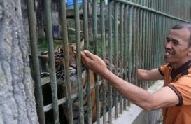 Harimau Pemangsa Manusia Tak Akan Dilepasliarkan
