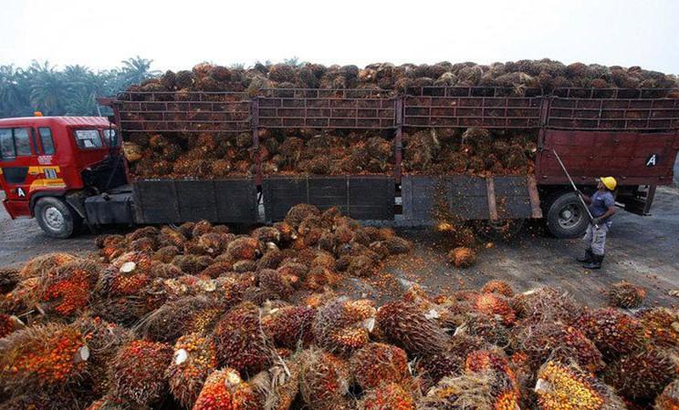 Ilustrasi. Kelapa sawit. - Reuters/Samsul Said