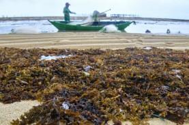 Parigi Moutong Produksi 13.000 Ton Rumput Laut