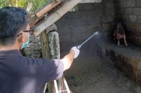 Pulau Timor Positif Terserang Flu Babi Afrika