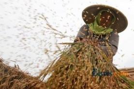 Produksi Padi di Riau Turun 13,33 Persen, Luas Panen…