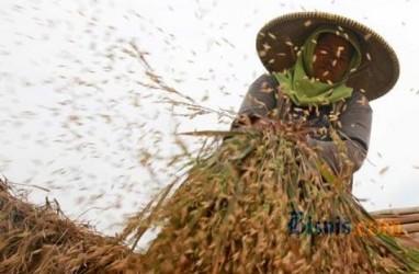 Produksi Padi di Riau Turun 13,33 Persen, Luas Panen Turun 11,63 Persen