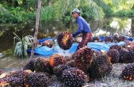 Terimbas Penurunan Harga CPO, Harga TBS di Riau Kian Susut