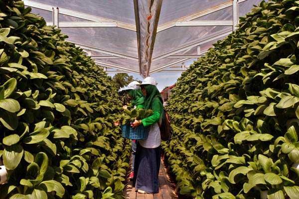 Karyawan muda atau milenial Kimia Farma melakukan kegiatan berkebun di meresmikan Kebun Gizi Hidroponik di Pondok Pesantren Hidayatullah Depok, Jawa Barat, Senin (17/12/2018). - JIBI/Nurul Hidayat