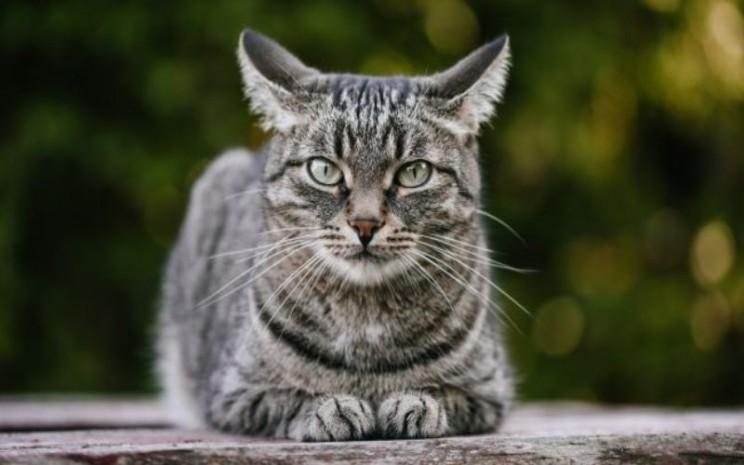Kucing terinfeksi virus Covid-19 (ilustrasi/bukan foto kucing yang terinfeksi) - Shutterstock