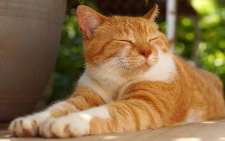 Ilustrasi kucing - istimewa