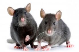 Tikus Menjadi Lebih Agresif Saat Pandemi Corona
