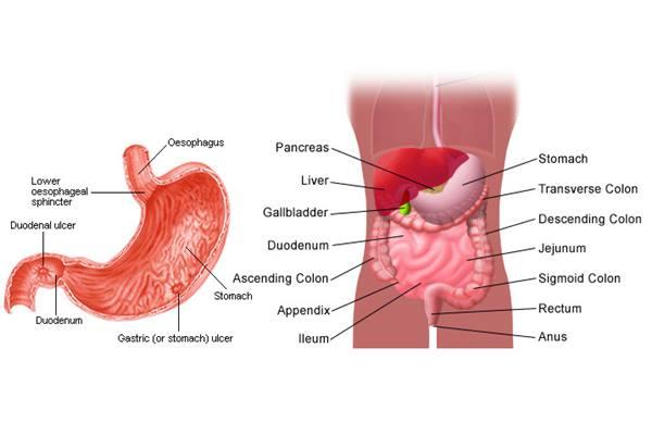 Lambung dan gangguan maag - stomachpicture.com