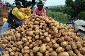 Harga Kentang di Ambon Rp45.000 per Kilogram, Naik…