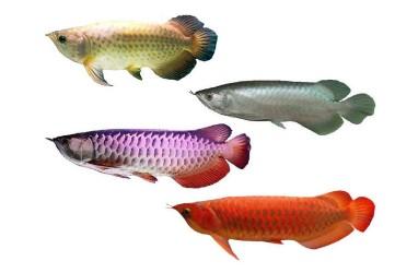 Jadi Otoritas Pengelola CITES, KKP Perkuat Budidaya Ikan Arwana dan Napoleon