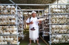 Usaha Budi Daya Jamur Tiram di Bali Dinilai Prospektif