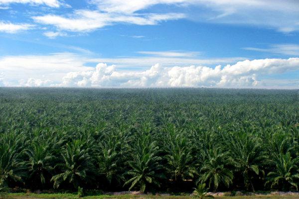 Salah satu perkebunan sawit yang dikeloal PT Sampoerna Agro Tbk. - Sampoernaagro.com