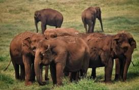 Pendapatan Berkurang, Warga Thailand Lepaskan Gajah ke Alam Liar