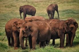 Bayi Gajah Jantan di Taman Safari Indonesia Diberi…