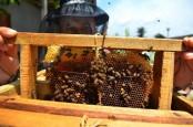 Berkah Covid-19, Penghasilan Petani Madu di Riau Terkerek