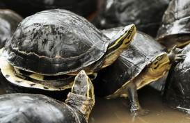 Peringatan World Turtle Day, ini Perbedaan Penyu dan Kura-Kura