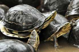 Peringatan World Turtle Day, ini Perbedaan Penyu dan…