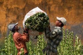 Pemerintah Diminta Perhatikan Petani Tembakau