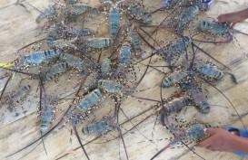 Puluhan Ribu Benih Lobster Dilepas di Kawasan Konservasi di Sumbar