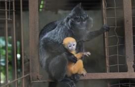 Anak Lutung Lahir di Kebun Binatang Bandung di Masa Pandemi