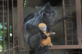 Anak Lutung Lahir di Kebun Binatang Bandung di Masa…