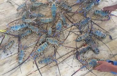 Fokus Budidaya Lobster, KKP Perketat Ekspor Benih