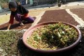Harga Cengkih di Ambon Turun 5 Persen ke Rp60.000 per Kilogram