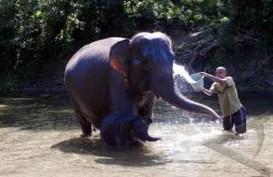 Seekor Gajah Mati Makan Nanas Isi Petasan, Sedang Hamil