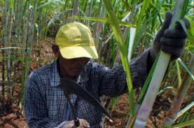 Harga Gula Anjlok Saat Musim Giling, Petani Salahkan…