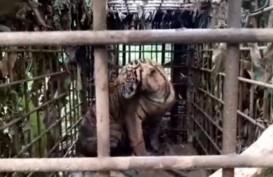 Keren! Harimau Sumatra Ini Berhasil Ditangkap Dalam Keadaan Hidup