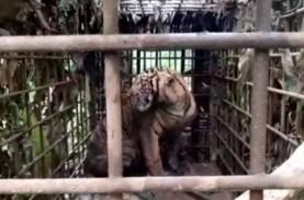 Keren! Harimau Sumatra Ini Berhasil Ditangkap Dalam…