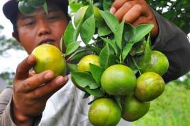 Tak hanya Sumber Vitamin C, Berikut Manfaat Jeruk…